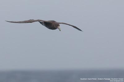 Southern Giant-Petrel - Drake's Passage, Southern Ocean