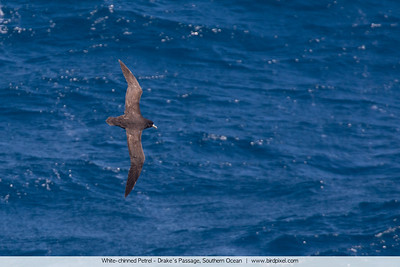 White-chinned Petrel - Drake's Passage, Southern Ocean