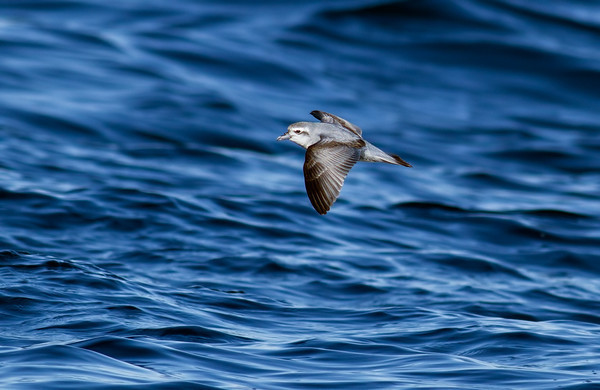 (Pachyptila turtur) - Wollongong Pelagic - Aug13