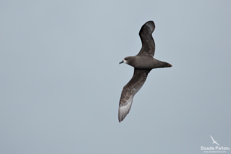 Grey-faced Petrel
