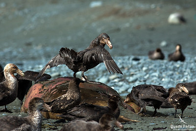 Northern Giant Petrel on dead seal