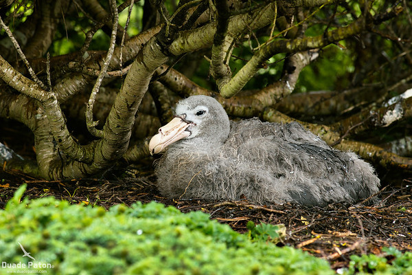 Northern Giant Petrel Chick