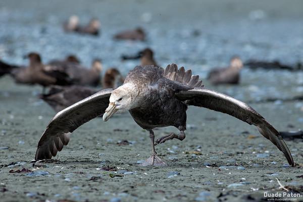 Southern Giant Petrel