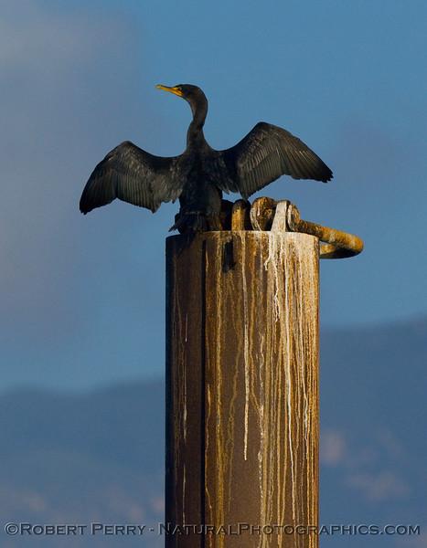 Brandt's cormorant (Phalocrocorax penicillatus) spreads its wings like a pterodactyl.