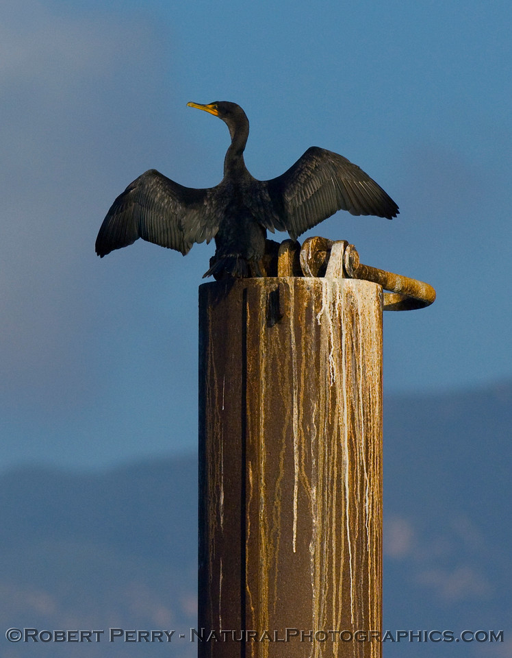 Brandt's cormorant (Phalocrocorax penicillatus) spreads its wings like a pterodactyl.