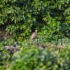 Korean Ring-necked Pheasant (male)