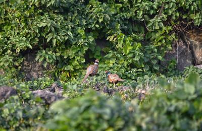 Korean Ring-necked Pheasant (males)