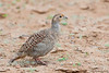 Grey Francolin - Kutch, Gujrat, India