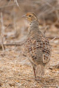 Gray Francolin - Kutch, Gujrat, India