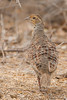 Gray Francolin - Kutch, Gujrat, India