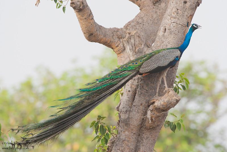 Indian Peafowl - Kutch, Gujrat, India