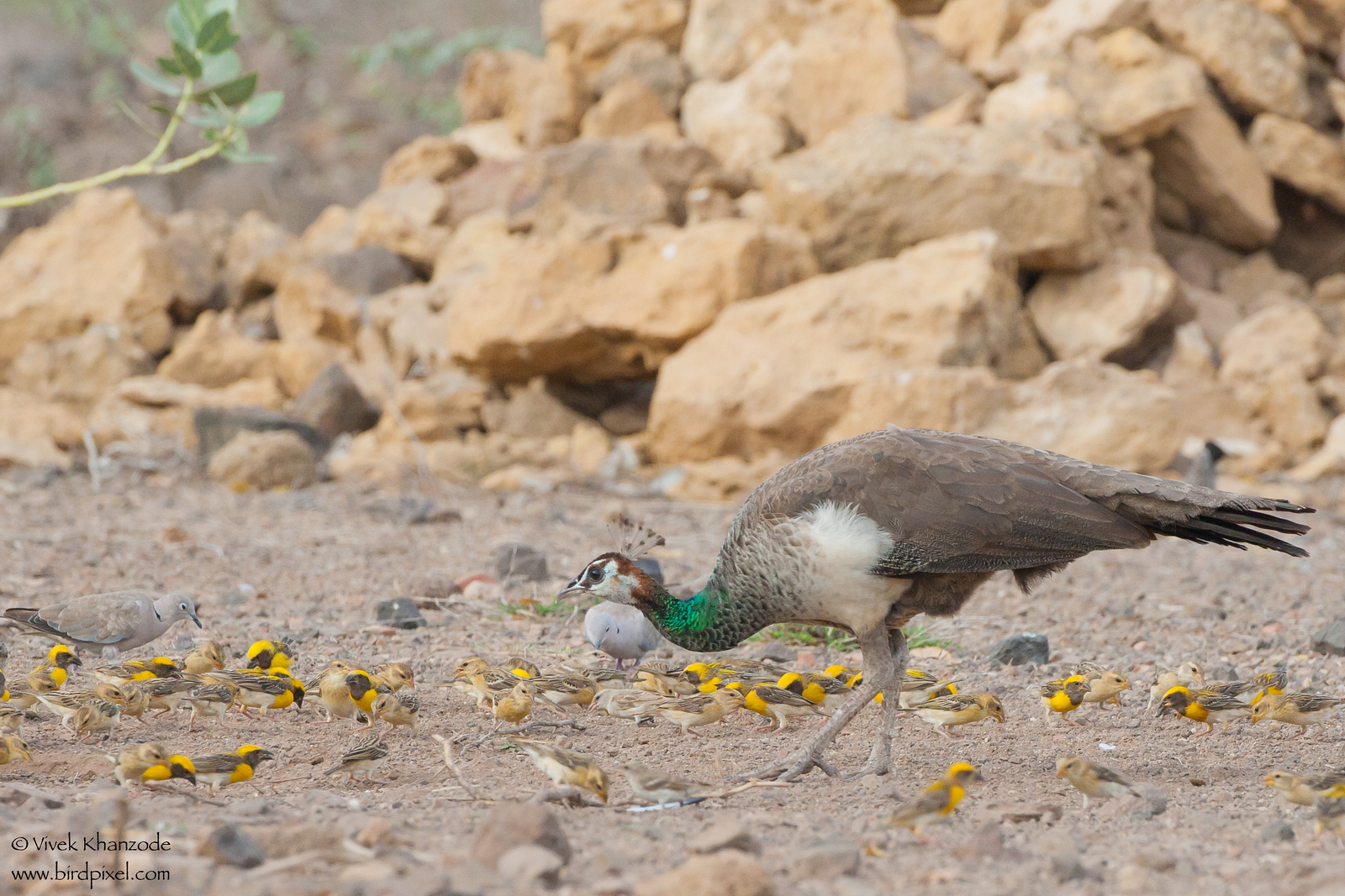 Indian Peafowl - Female - Kutch, Gujrat, India