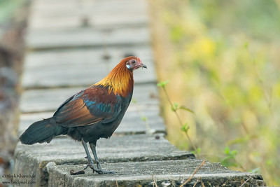 Red Junglefowl - Pench National Park, India