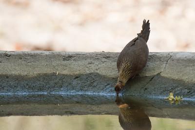 Red Jungle Fowl - Female - Kanha National Park, Madhya Pradesh, India