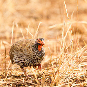 Red-necked Spurfowl - Tarangire National Park, Tanzania