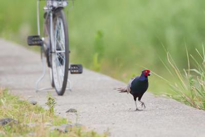 Ring-necked Pheasant (Green Pheasant) - Kanagawa Prefecture, Japan