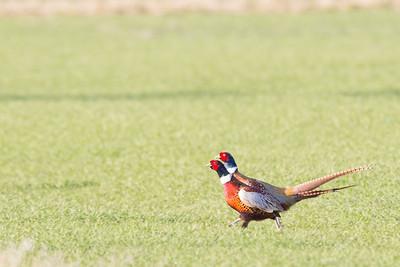 Ring-necked Pheasant -  Males - Honey Lake, Susanville, CA, USA