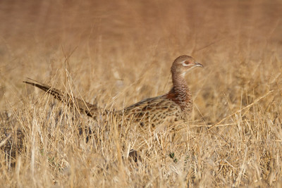 Ring-necked Pheasant - Female - Laguna Ave., San Jose, CA, USA