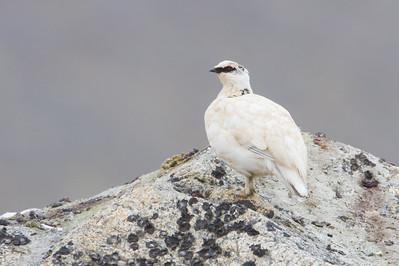 Rock Ptarmigan - Nome, AK, USA
