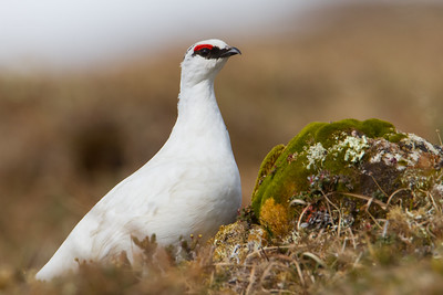 Rock Ptarmigan - Nome, AK, USA