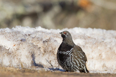 Spurce Grouse - Female - Hwy 2, Near Two Harbors, MN, USA