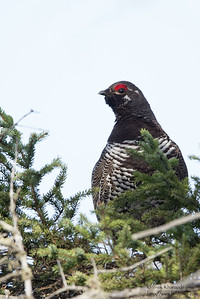 Spruce Grouse - Upper Peninsula, MI, USA