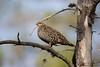Spruce Grouse - Upper Peninsula, MI, USA