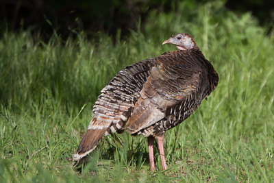 Wild Turkey - Rancho San Antonio, Los Altos, CA, USA