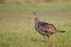 Wild Turkey - Edinburg, TX, USA