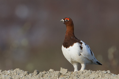Willow Ptarmigan - Nome, Alaska, USA