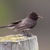Black Phoebe with Large Bug