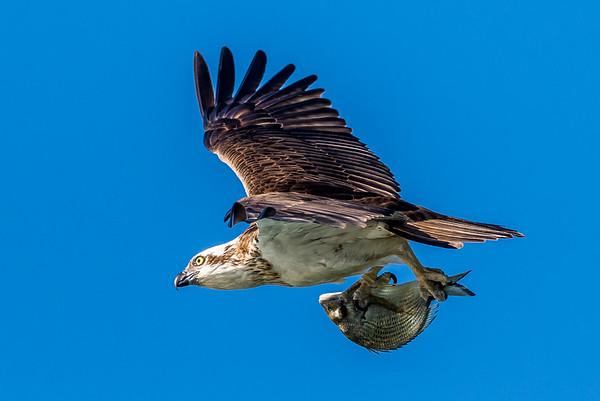 2015-06-15 Osprey - Crow Confrontation