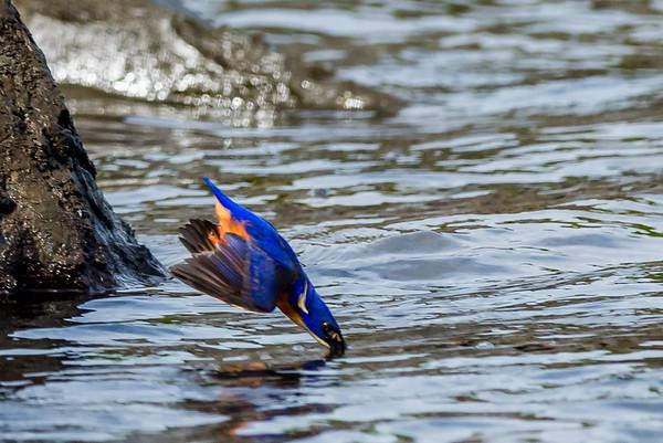 2015-07-01 Azure Kingfisher Fishing