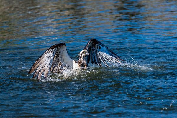 2016-08-01 Osprey Fishing