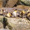 Pacific Black Duck Ducklings