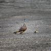 Pacific Black Duck & Ducklings
