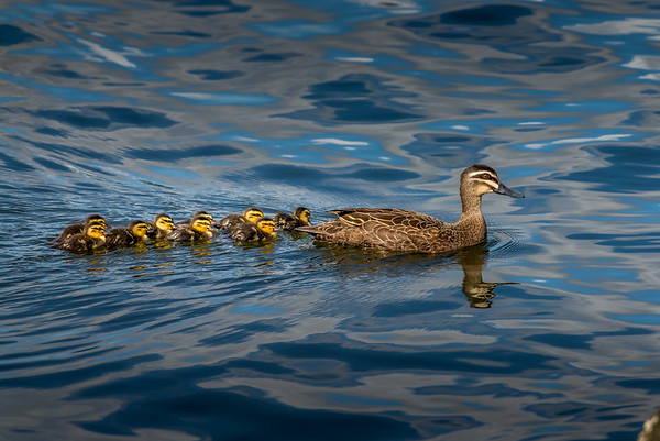 2016-09-12 The saga of the lost Duckling