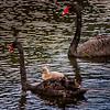 Black Swans & Cygnet