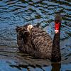 Black Swan & Cygnet