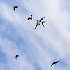A murder of Torresian Crows harrasing a White Bellied Sea-eagle