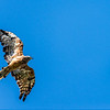 Square Tailed Kite