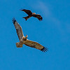 Black Kites harassing an immature White Bellied Sea Eagle