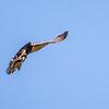 Dark Morph Brown Falcon