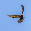 Dark Morph Brown Falcon