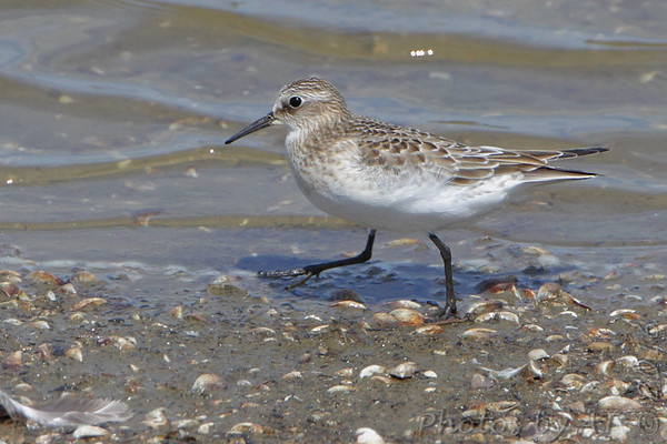 "Mudflats: Sandpipers: <span style=""color:#fff; background:#333;"">Baird's Sandpiper</span>  <br><span class=""showLBtitle"">                                             </span> Ellis Bay <br> Riverlands Migratory Bird Sanctuary <br> St. Charles County, Missouri <br> <a href=""/Birds/2016-Birding/Birding-2016-September/2016-09-03-RMBS/i-JHXRTqb"">2016-09-03</a> <br> <br> My 1st Missouri photo, species #281 <br> 2010-05-08 14:02:59 <br> <div class=""noshow"">See #281 in photo gallery <a href=""/Birds/2010-Birding/Birding-2010-May/2010-05-08-RMBS/i-JmVxFrS"">here</a></div>"