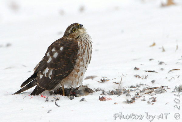 "Birds of Prey: Accipiters: <span style=""color:#fff; background:#333"">Sharp‑shinned Hawk</span>  <br><span class=""showLBtitle"">                                                                                         </span> City of Bridgeton <br> St. Louis County, Missouri<br> <a href=""/Birds/2013-Birding/Birding-2013-December/2013-12-Yardbirds/i-WjrjJFN"">2013-12-08</a> <br> <br> My 1st Missouri photo, species #156 <br> 2006-12-18 14:55:10 <br> <div class=""noshow""> See #156 in photo gallery <a href=""/Birds/2006-Birding/Birding-2006-December/2006-12-18-Busch-Wildlife/i-KmQpSMg"">Here</a></div>"