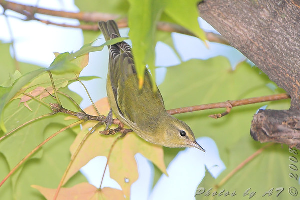 "Wood-Warblers: <span style=""color:#fff; background:#333;"">Orange-crowned Warbler </span> <br><span class=""showLBtitle"">                                                                                         </span> City of Bridgeton <br> St. Louis County, Missouri <br> <a href=""/Birds/2008-Birding/Birding-2008-October/2008-10-October-Yardbirds/i-Z6jDVCG"">2008-10-18</a> <br> <br> My 1st Missouri photo, species #170 <br> 2008-10-17 14:07:44 <br> <div class=""noshow"">See #170 in photo gallery <a href=""/Birds/2008-Birding/Birding-2008-October/2008-10-17-Tower-Grove-park/i-qVjfsNx"">here</a></div>"