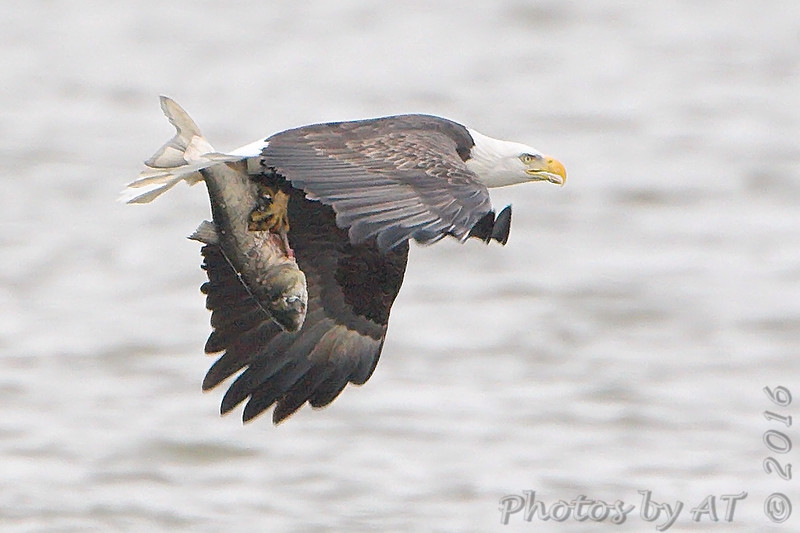"Birds of Prey: Eagles: <span style=""color:#fff; background:#333;"">Bald Eagle</span>  <br><span class=""showLBtitle"">                                                                                         </span> Creve Coeur Lake <br> St. Louis County, Missouri <br>  <a href=""/Birds/2009-Birding/Birding-2009-January/2009-01-12-Creve-Coeur-Lake/i-7Wxdbxw"">2009-01-12</a> <br> <br> My 1st Missouri photo, species #45 <br> 2006-01-07 <br><div class=""noshow"">See #45 in photo gallery <a href=""/Birds/2006-Birding/Birding-2006-Jan-Feb/2006-01-07-Riverlands/i-c4HX4pF"">Here</a></div>"