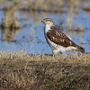 """Birds of Prey: Buteos: <span style=""""color:#fff; background:#333;"""">Ferruginous Hawk</span>  <br><span class=""""showLBtitle""""> &nbsp; &nbsp; &nbsp; &nbsp; &nbsp; &nbsp; &nbsp; &nbsp; &nbsp; &nbsp; &nbsp; &nbsp; &nbsp; &nbsp; &nbsp; &nbsp; &nbsp; &nbsp; &nbsp; &nbsp; &nbsp; &nbsp; &nbsp; &nbsp; &nbsp; &nbsp; &nbsp; &nbsp; &nbsp; &nbsp; &nbsp; &nbsp; &nbsp; &nbsp; &nbsp; &nbsp;  &nbsp; &nbsp; &nbsp; &nbsp; &nbsp; &nbsp; &nbsp; &nbsp; &nbsp; &nbsp; &nbsp; &nbsp; </span> Just east of Hwy TT and 703 intersection <br> Hornersville area <br> Dunklin County, Missouri <br> <a href=""""/Birds/2021-Birding/Birding-2021-January/2021-01-05-Missouri-Bootheel/i-6KzS62k"""">2021-01-05</a> <br> <br> My 1st Missouri photo, species #353 <br> 2021-01-05 14:03:53 <br><div class=""""noshow"""">  See #353 in photo gallery <a href=""""/Birds/2021-Birding/Birding-2021-January/2021-01-05-Missouri-Bootheel/i-LCQZq9L"""">Here</a></div>"""