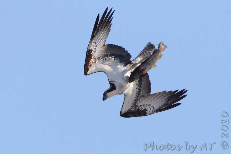 "Birds of Prey: <span style=""color:#fff; background:#333;"">Osprey</span> - with Brown trout  <br><span class=""showLBtitle"">                                             </span> Table Rock Lake above Dam <br> Taney County, Missouri <br> <a href=""/Birds/2010-Birding/Birding-2010-September/2010-09-28-ASM/i-hFxK7P8"">2010-09-28</a> <br> <br> My 1st Missouri photo, species #36 <br> 2005-09-10 10:21:49 <br> <div class=""noshow"">See #36 in photo gallery <a href=""/Birds/2005-Birding/2005-09-10-Busch-Wildlife/i-X632mhT"">Here</a></div>"